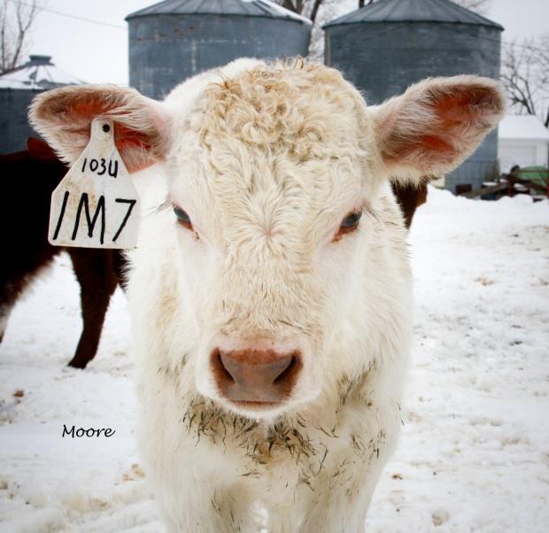 """Muridale Bonanza"", bull, calf"