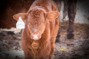 """""""Clifford"""", bull, calf"""